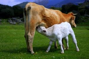 Veau tétant sa mère